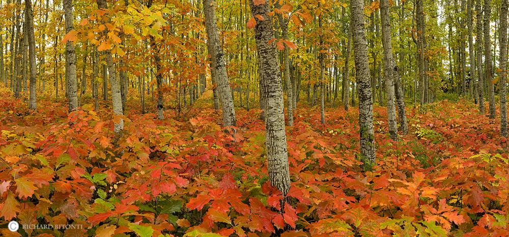 Fall Color, Trees, Willamette Valley, Oregon, scotts mills, silverton, , photo