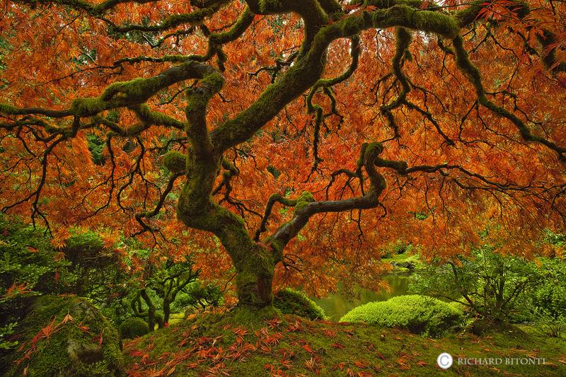 Japanese, Maple, Tree, Japanese Garden, Portland, Oregon, tranquil, beauty, photo